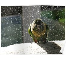 Shake, Rattle And Roll - Maroon-Bellied Conure NZ Poster