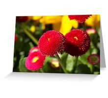 Red and filled cultivated daisies Greeting Card