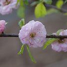 Miniature Flowering Cherry by lezvee