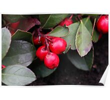 Teaberry Gaultheria procumbens Poster