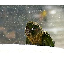 Is It Snowing? - Maroon-Bellied Conure NZ Photographic Print
