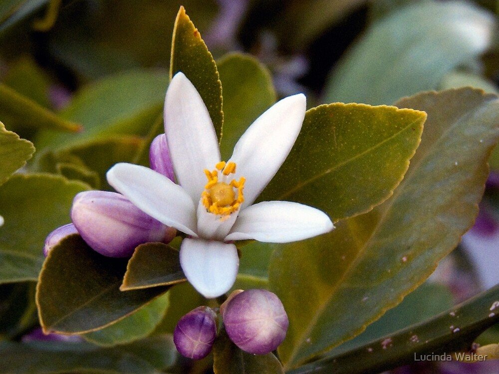 Meyer Lemon Blossom by Lucinda Walter
