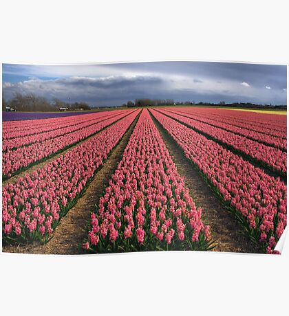 Pink Hyacinth Field Poster
