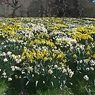 Altered Daffodils by coffeebean