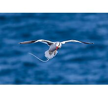 Tropic Bird Photographic Print