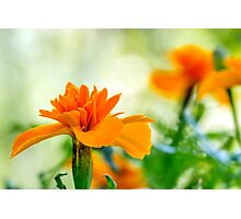Carroty Marigold Photographic Print