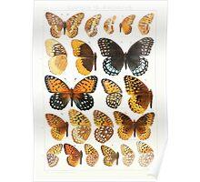 The Macrolepidoptera of the world a systematic account of all the known Butterflies Moths Adalbert Seitz V1 V3 1906 173 Euptoieta Argynnis Poster