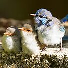 Splendid Fairy Wrens  by mncphotography