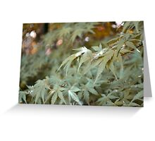 Acer japonicum Greeting Card