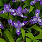Dwarf Crested Iris by Gary L   Suddath