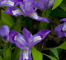Dwarf Crested Iris Sticker