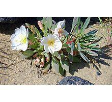 Desert Wildflower Photographic Print