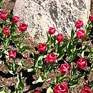 Red Tulips and Grey Rock by Shulie1