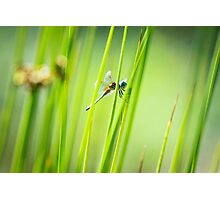Dragonfly by Pond #2  Photographic Print
