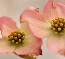 Pink Dogwood by Poete100