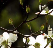 Flowering Dogwood in Sunlight Sticker