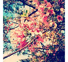 Cherry Blossom Blush  Photographic Print