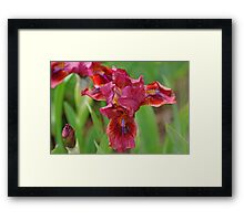 Lady In Red Iris Framed Print