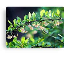 Naturalized Japanese Barberry Blossoms Canvas Print