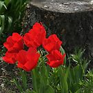 Tulips by a Tree Stump by AnnDixon
