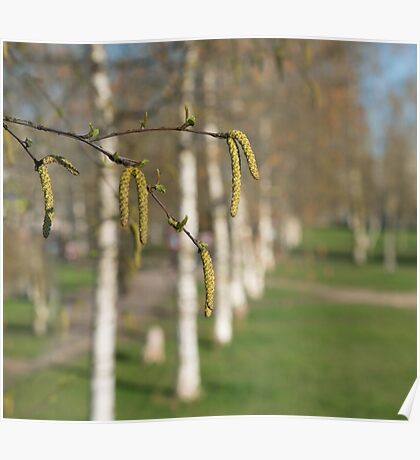 spring birches with catkins and green leaves  Poster
