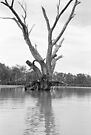 gnarled river red gum (River Murray) by Janine Paris