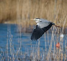 A heron takes off, Torricella, Lago Trasimeno, Umbria, Italy by Andrew Jones