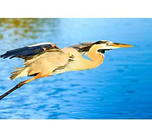 Great Blue Heron in Flight Photographic Print