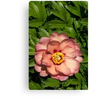 Exotic Beauty - Unusual Peony Basking in the Sunshine - a Vertical View Canvas Print