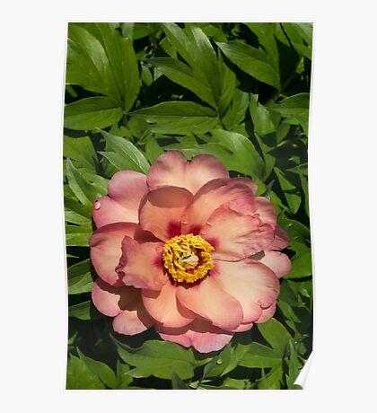 Exotic Beauty - Unusual Peony Basking in the Sunshine - a Vertical View Poster