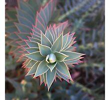 Euphorbia Rigida Photographic Print