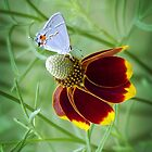 Gray Hairstreak and Mexican Hat by Penny Odom
