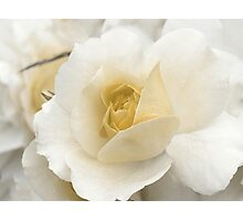 Spring Time with Yellow Rose Photographic Print