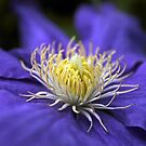 Clematis by Jessica Jenney