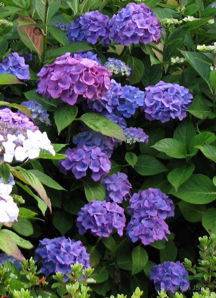 Blue Beauties - Hydrangea Blossoms by kathrynsgallery