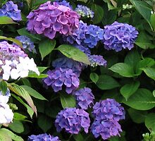 Blue Beauties - Hydrangea Blossoms by Kathryn Jones