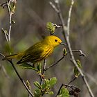 Yellow Warbler by Michael Cummings