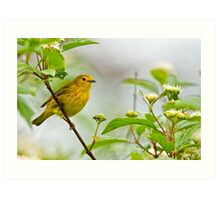 Yellow Warbler - Long Sault, Ontario Art Print
