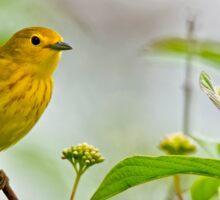 Yellow Warbler - Long Sault, Ontario Sticker