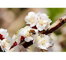 Bee Visiting an Apricot Blossom 1 Photographic Print