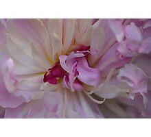 Garden Peony - Paeonia lactiflora Photographic Print