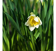 Blooming narcissus in garden at the springtime Photographic Print