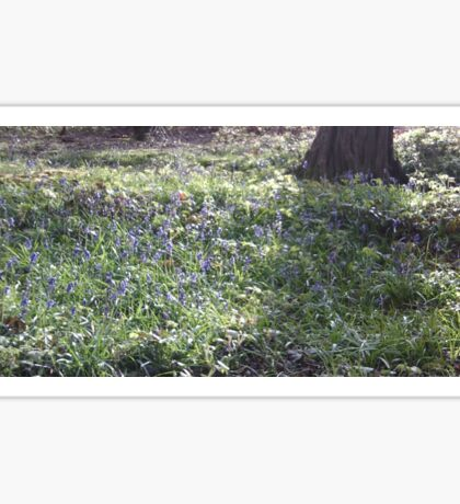 Beltaine Bluebell Woods Photo 2 - April 2016 Sticker