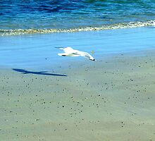 Low flying Seagull at Killarney Beach, Vic. Australia by EdsMum