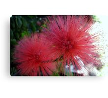Pink bottle brush flower Canvas Print