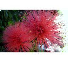 Pink bottle brush flower Photographic Print