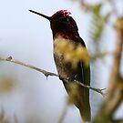 Lucifer Hummingbird by Dennis Cheeseman
