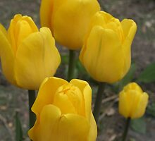 Yellow Tulips by kkphoto1