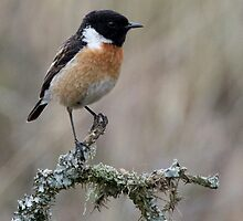 Male Stonechat by Neil Bygrave (NATURELENS)