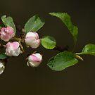 Wild Crabapple by Neil Bygrave (NATURELENS)